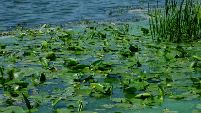 Nuphar lutea. Lots of yellow water lilies on the river. Nature. Flowers