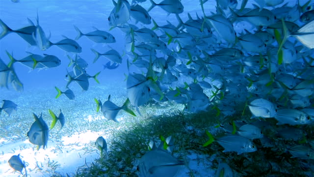 Enfermeira, tubarões e peixes de jack escola de Bigeye trevally no Shark Ray Alley Reserva Marinha no mar do Caribe - Belize Barrier Reef / Ambergris Caye - vídeo