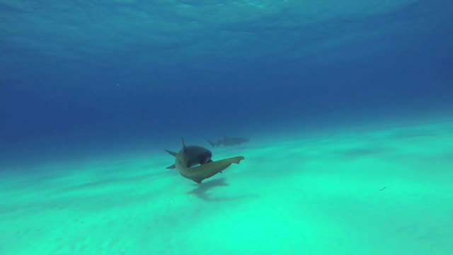 Nurse sharks video
