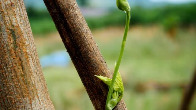 Nut tree in tree branch video