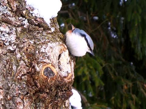 Nuthatch on Oak Tree video