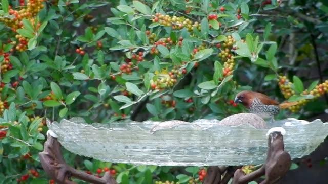 Nutmeg mannikin bird on birdbath
