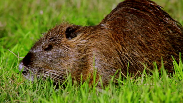 Nutria eating on a grass Nutria eating on a grass animal whisker stock videos & royalty-free footage