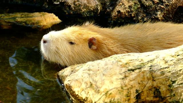 nutria in the pond - pelo animale video stock e b–roll