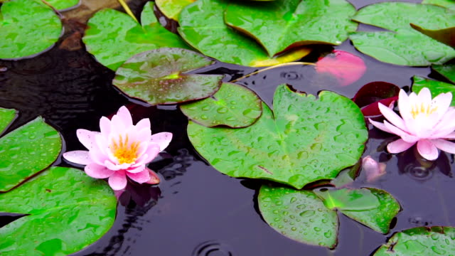 Nymphaea aquatic plant video