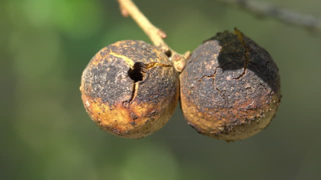 Oak apple or oak gall cloeup
