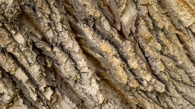 Oak bark close-up pan rotate. Tree closeup rotation background of pine macro 4k.