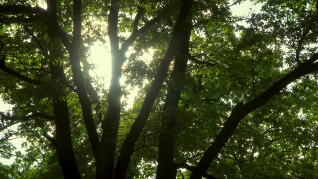 Oak branches, trunk and foliage in contoured sunlight, dolly shot