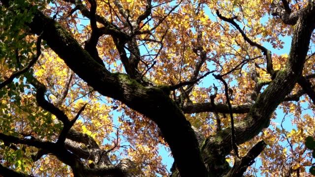oak forest, oak woods, oak trees, quercus, eichenwald, laubwald, deciduous forest, wood, oak leaves, autumn,  spessart, bavaria, 4k - дубовый лес стоковые видео и кадры b-roll
