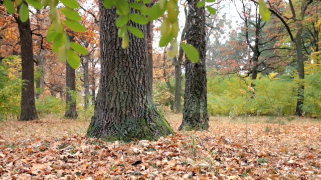 Oak grove in the autumn. The leaves fall to the ground.
