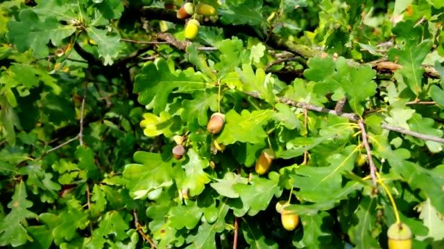 Oak leaf cluster video