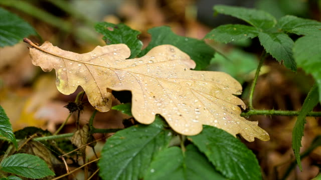Oak leaf in drops of rain.