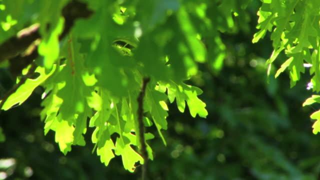oak лифс выборочная фокусировка hd - дубовый лес стоковые видео и кадры b-roll