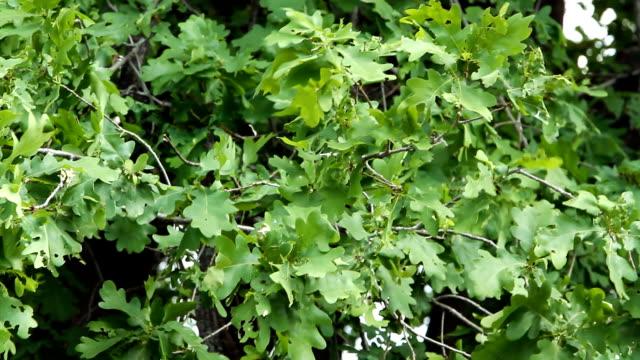 Oak leaves swaying from light wind video