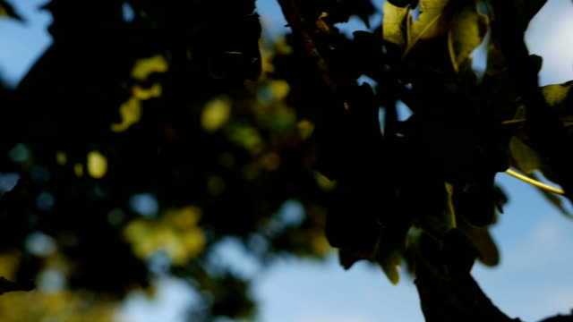 Oak tree acorn - camera move, slow motion video