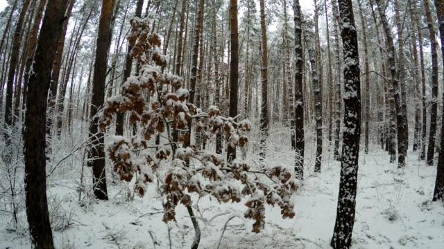 Oak tree growing in a pine forest. video