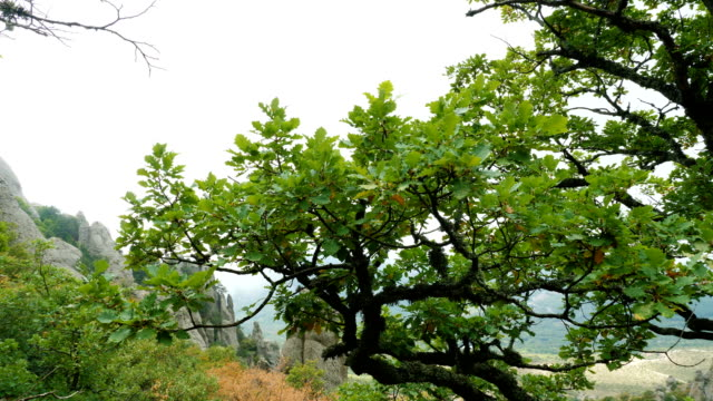 Oak tree high in the mountains.