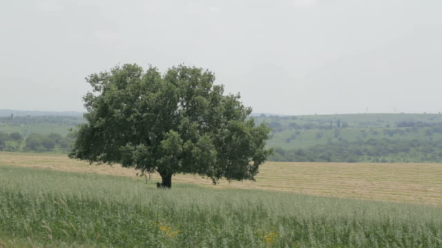 Oak tree in a middle of Wheat field video