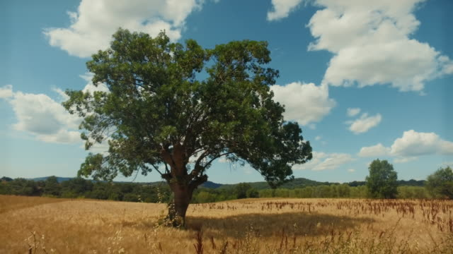 Oak Tree in a summer countryside landscape in Italy video