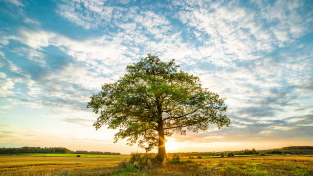 Oak tree in field video