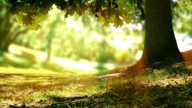 Oak tree in golden light. Loopable nature background video
