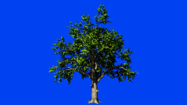 Oak tree in the wind seamless loop, against Blue screen