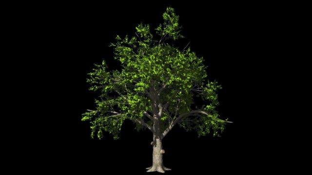 oak tree in the wind seamless loop, alpha channel - obszar zadrzewiony filmów i materiałów b-roll