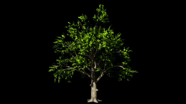 Oak tree in the wind seamless loop, Luma Matte attached Oak tree in the wind seamless loop, Luma Matte attached alpha channel stock videos & royalty-free footage