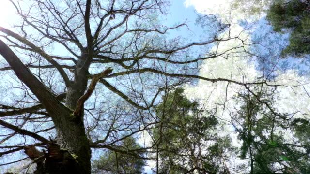 oak tree -Season video