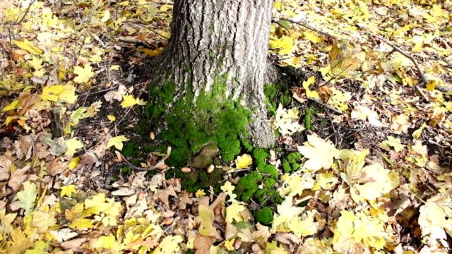 Oak tree trunk. video