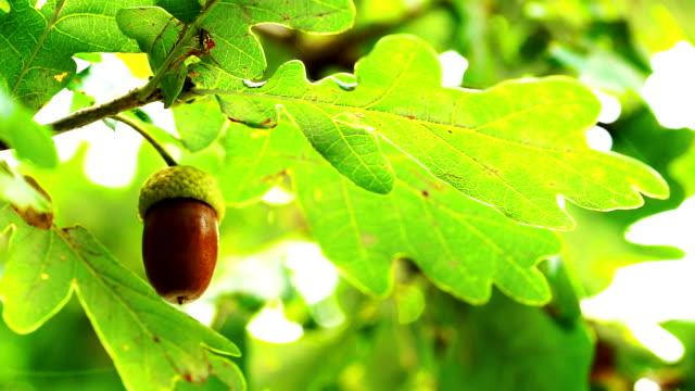 Oak tree with acorn video