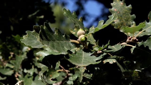 HD Oak Tree with acorns video