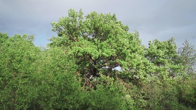 vídeos de stock e filmes b-roll de oak trees in spring with fresh green leaves gently swaying in the wind, - oscilar