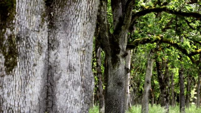 oak trees - дубовый лес стоковые видео и кадры b-roll