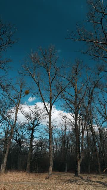 querce senza foglie nella bellissima giornata di sole di inizio primavera. natura paesaggio forestale deciduo - albero spoglio video stock e b–roll