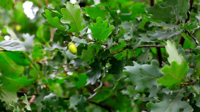 Oak. video