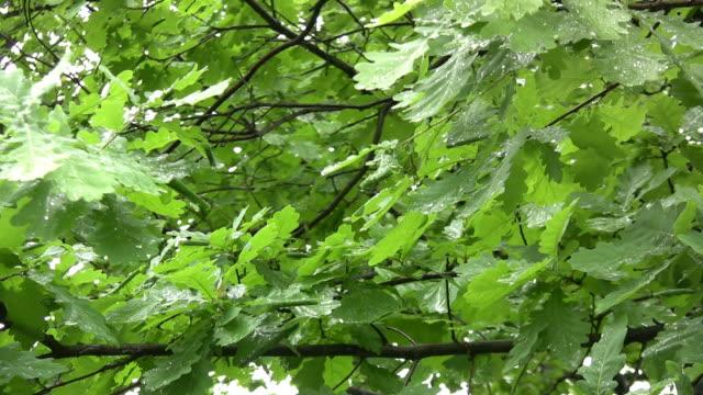 oak. - дубовый лес стоковые видео и кадры b-roll