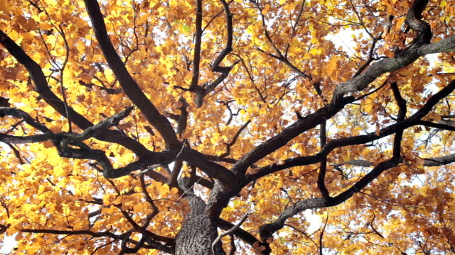 Oak with yellow leaves.