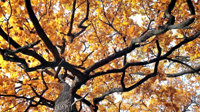 Oak with yellow leaves. video
