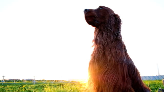 Obedient dog sits still on the grass at sunset in the summer. Irish setter waits and looks into the distance, slow motion