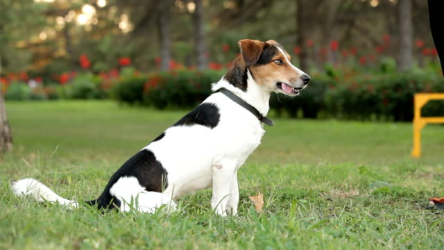 Obedient dog video