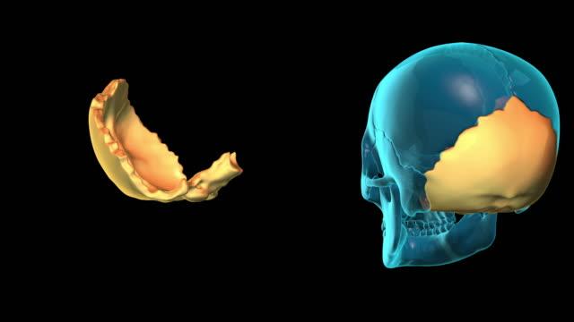Occipital Bone video