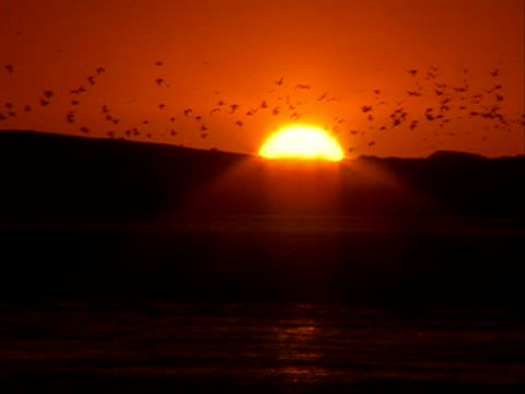 Ocean Birds Take Flight at Sunset This video was taken at sunset as the sun falls behind a sand dunes in California.  A flock of birds fly away into the distance. water bird stock videos & royalty-free footage