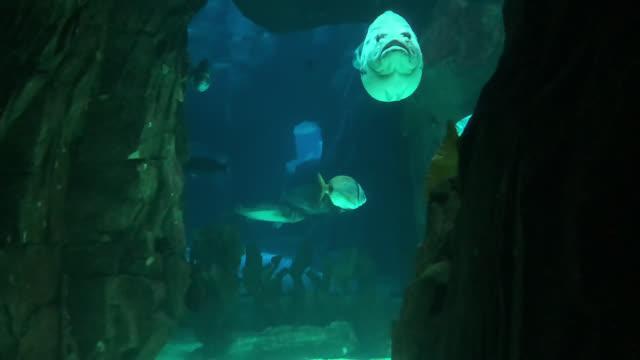Ocean Life Big Fish swimming toward a cavern aquatic organism stock videos & royalty-free footage