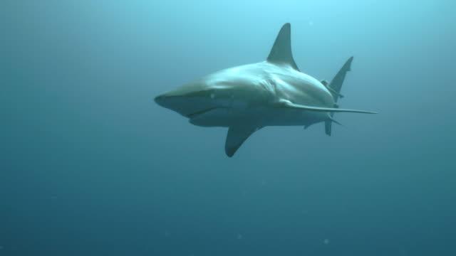 Oceanic Blacktip Shark in open Sea, Indian Ocean