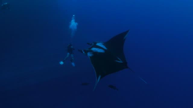 Oceanic Manta ray swimming around divers video