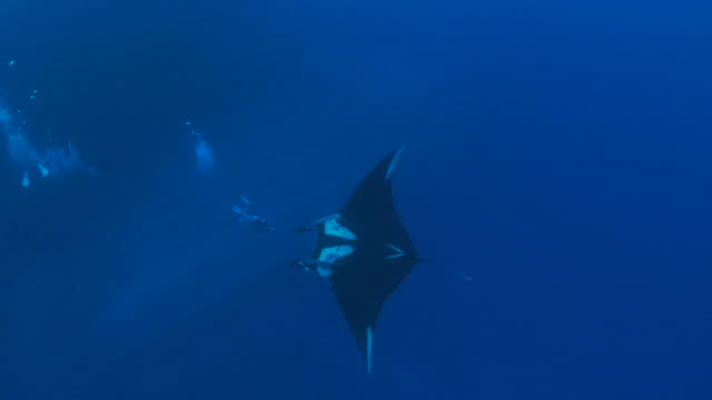 Oceanic Manta ray swimming close to diver video