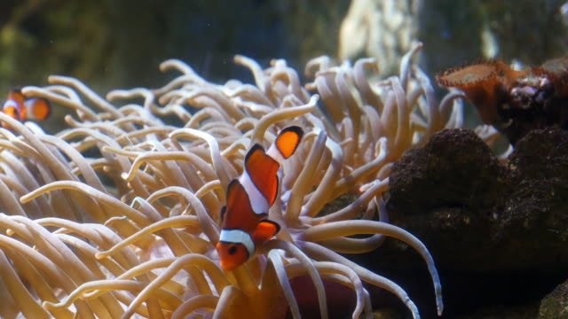 Ocellaris Clowfish, amphiprion ocellaris, standing near Anemone, Real Time 4K video