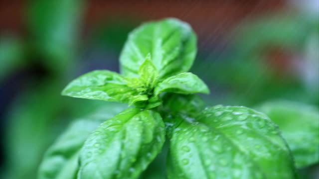 Ocimum basilicum and mint with water drops video