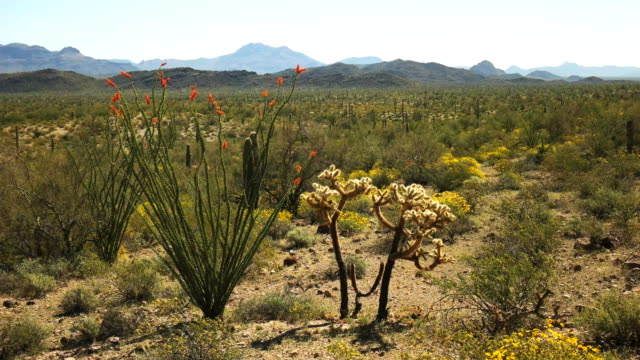 アリゾナ州の ajo のソノラ砂漠に、サボテンはオコティロ、全羅道 - オコティロサボテン点の映像素材/bロール